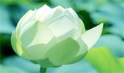 Lotus Flower - Guided Meditation on Insight Timer. Rev. Janice Chrysler